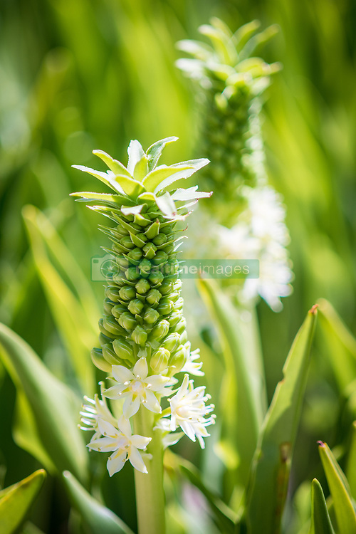 January 4, 2018 - Cape Town, Western Cape, South Africa - Close up of a blossoming Pineapple Lily at the Kirstenbosch Botanical Gardens in Cape Town, South Africa (Credit Image: © Edwin Remsberg / Vwpics/VW Pics via ZUMA Wire)