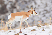 A pronghorn (Antilocapra americana) walks on a snow-dusted hill in Yellowstone National Park, Montana. They are often mistakenly referred to as antelope, although they are more closely related to giraffes than to Old World antelope.