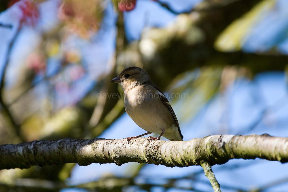 Fringilla Coelebs- chaffinch, female version of well known garden bird