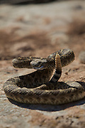 A western diamondback rattlesnake sunning on a rock in the west Texas desert prepares to strike.