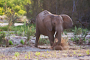 A desert-adapted elephant sub-adult (Loxodonta africana) splashing and digging out ground water from a freshly dug out hole,Skeleton Coast, Namibia,Africa