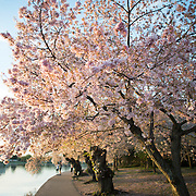Washington DC's famous cherry blossoms at the end of their blooming period in 2015.