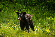 A young black bear in a lush green summer meadow at Riding Mountain National Park, Manitoba, Canada