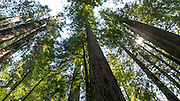 Tall Trees Trail, Redwood National Park, California