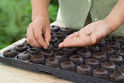 Sowing strawberries in tray of jiffy 7's