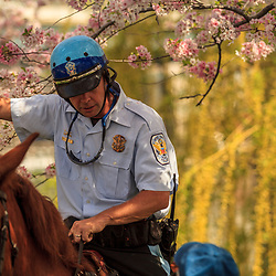 Washington, DC - April 11, 2013:  Mounted US Park Police officer near the Jefferson Memorial during the cherry blossom season.