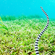 A banded sea krait (Laticauda colubrina) searches a seagrass bed for food. Image made off North Sulawesi, Indonesia.