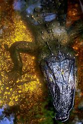 04 June 2014. Jean Lafitte National Historic Park, Louisiana.<br /> Alligator in the swamp at the Barataria Preserve wetlands south or New Orleans.<br /> Charlie Varley/varleypix.com