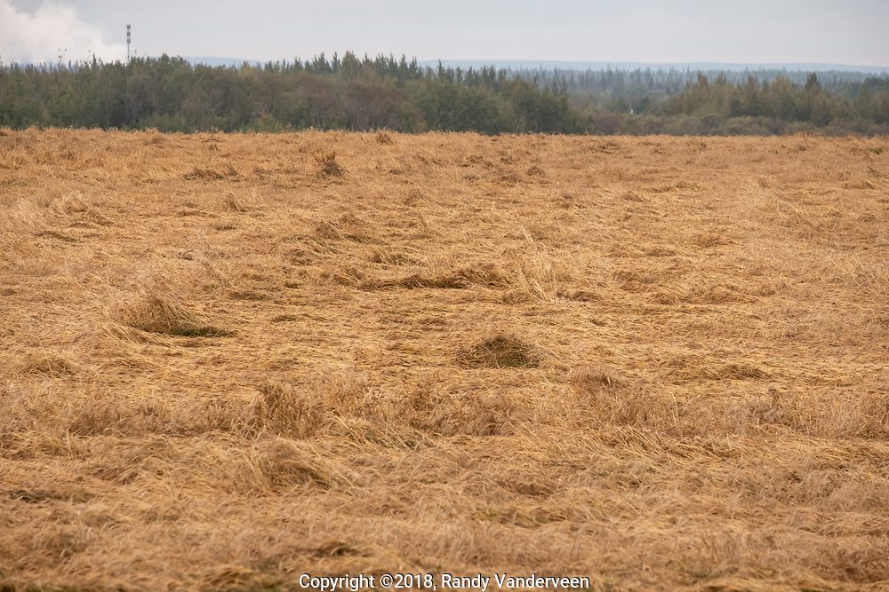 Photo Randy Vanderveen<br /> Grande Prairie, Alberta<br /> 2018-09-18<br /> Farmers in the South Peace are going to have a difficult task ahead of them once it is dry enough to get back combining. Fields like this one east of Grande Prairie are severely lodged following the heavy snowfall and rain last week.