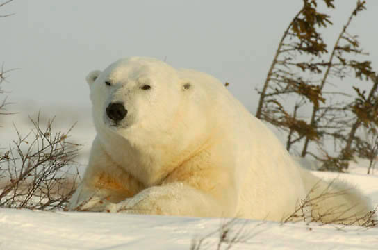Polar Bear (Ursus maritimus) near Cape Churchill, Churchill, Manitoba,