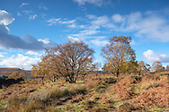 Golden light on moorland trees on a cold but sunny day