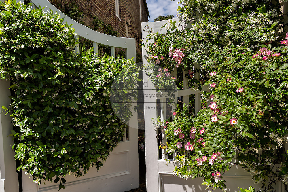 Confederate jasmine and climbing roses blooming on a gate along Church Street in historic Charleston, SC.