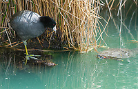 An American Coot, Fulica americana, watches as a Red-eared Slider, Trachemys scripta elegans, approaches the edge of a small lake in the Riparian Preserve at Water Ranch, Gilbert, Arizona