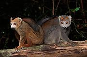 Crowned Lemur, Montagne d'Ambre near Diego Suarez