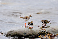 Norway, Klepp. Spotted redshank and Ruddy turnstone.