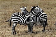 Africa, Tanzania, Serengeti National Park Herd of Zebras