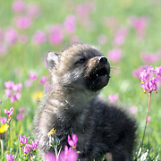 Gray Wolf, (Canis lupus) Pup howling in field of blooming shooting star flowers. Southwest Montana. Spring. Captive Animal.