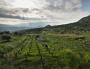Trimming a vineyard. Cretan landscape.