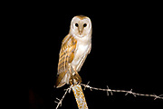 Barn Owl (Tyto alba) on a branch at night, Carmel, Israel