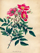 ROSA Pennsylvanica, Pennsylvanian Rose From the book Roses, or, A monograph of the genus Rosa : containing coloured figures of all the known species and beautiful varieties, drawn, engraved, described, and coloured, from living plants. by Andrews, Henry Charles, Published in London : printed by R. Taylor and Co. ; 1805.