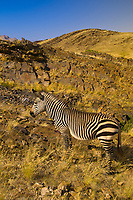 Mountain zebra, Rostock Ritz Desert Lodge, Solitaire, Namib Desert, Namib-Naukluft National Park, Namibia