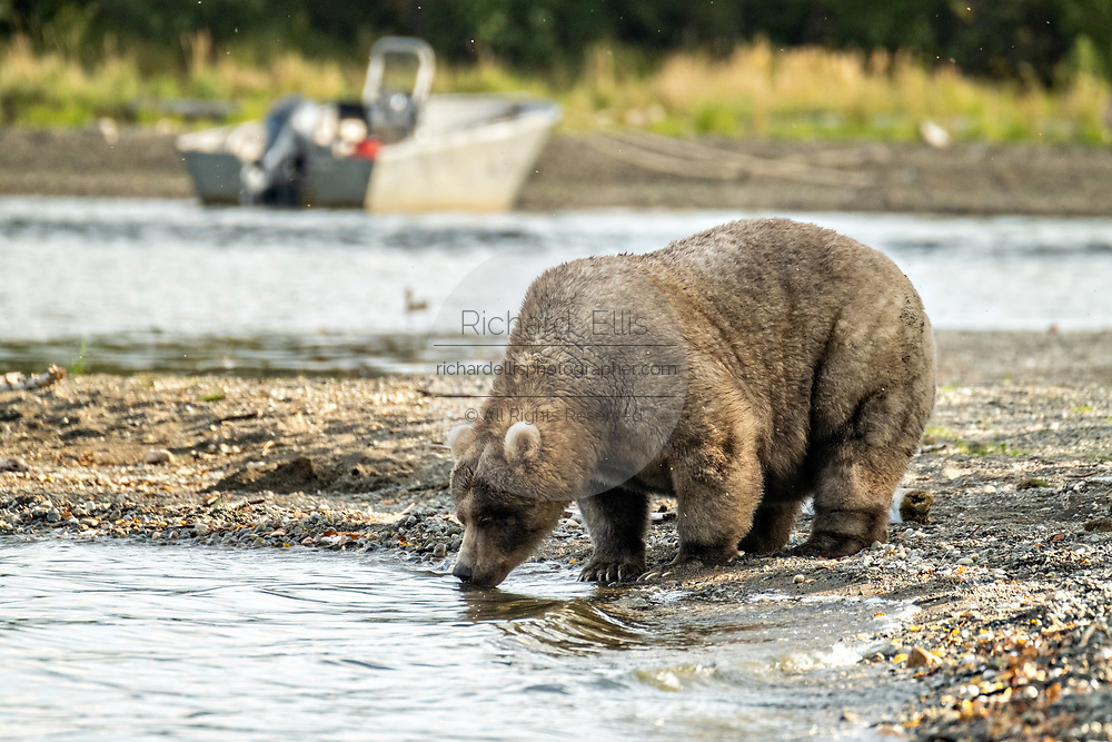 An extremely large female adult Brown Bear known as 435 Holly, takes a drink of water near Brooks Camp at in Katmai National Park and Preserve September 16, 2019 near King Salmon, Alaska. The park spans the worlds largest salmon run with nearly 62 million salmon migrating through the streams which feeds some of the largest bears in the world.