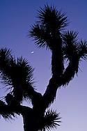 Crescent moon in evening light over Joshua Tree, Joshua Tree National Park, California