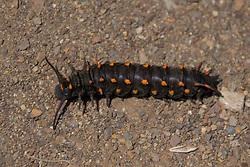 Caterpillar, Mt. Tamalpais, Marin County, California, US