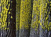 Lichen and fir trees, Yosemite National Park, California