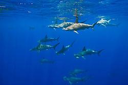 schooling scalloped hammerhead sharks, Sphyrna lewini, off Kona Coast, Big Island, Hawaii, Pacific Ocean