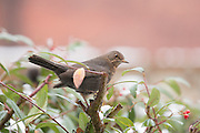 Female blackbird perched on the top of a cotoneaster plant during winter in an urban garden.