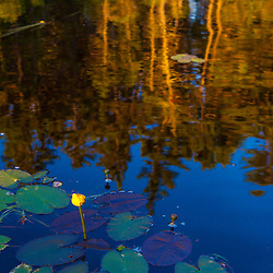 Water lilies in Little Berry Pond in Maine's Northern Forest. Cold Stream watershed, Johnson Mountain Township.