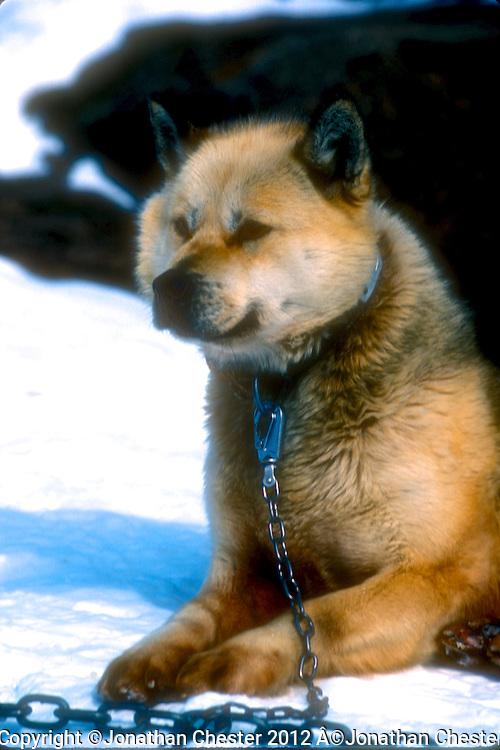 Kansas City, 2012. Polar Huskies Mawson Station Antarctica,