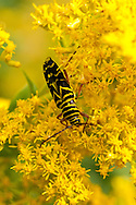A locust borer beetle feeding on goldenrod at Fort Hill in the Cape Cod National Seashore.