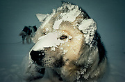 Kiwi husky at Scott base, woken up during blizzard, Ross Island, McMurdo Sound, Antarctica