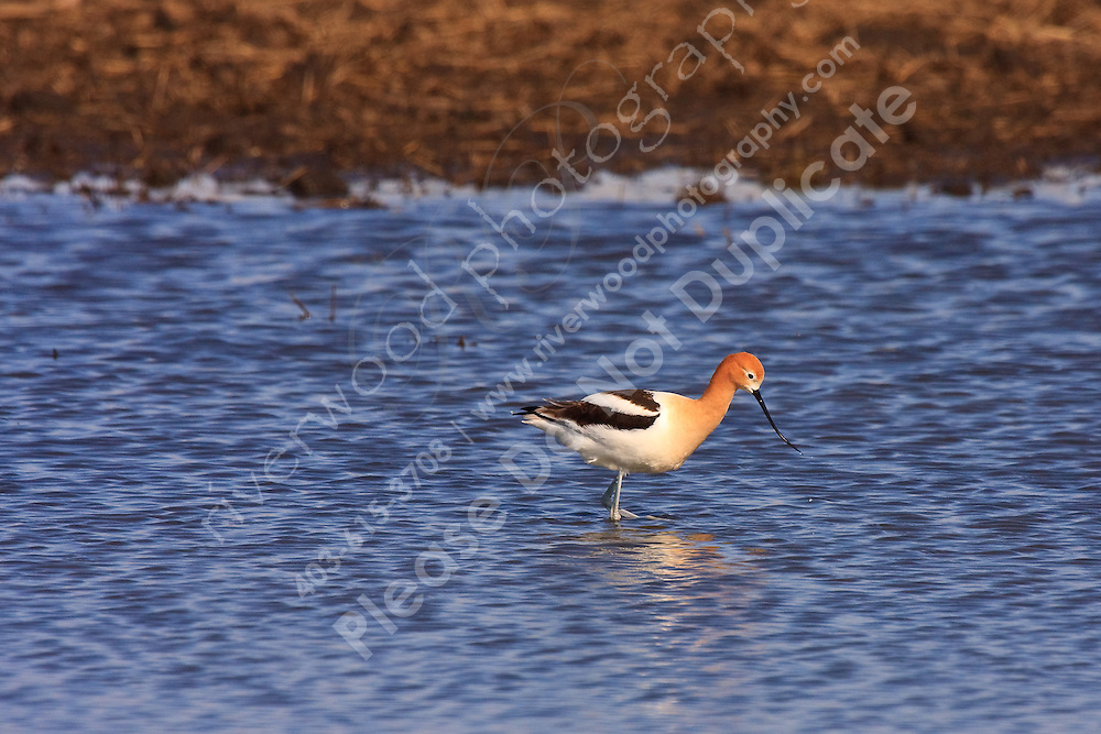 There was a pair of Avocets in a slough close to the road.  I stopped to take a few pictures and gradually walked closer and closer to the water, taking pictures all the way.  It was a beautiful morning to be a photographer...©2009, Sean Phillips.http://www.Sean-Phillips.com