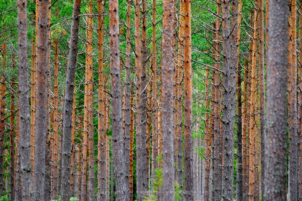 Trunks of pine trees in a forest making a linear pattern. You can't see the forest for all the trees... Smaland region. Sweden, Europe.