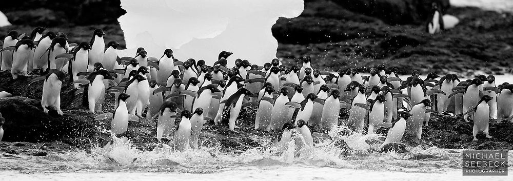 A waddle of Adelie Penguins (Pygoscelis adeliae) stampeding into the water. At the water's edge they are most at risk of predation by leopard seals, and often they enter (and leave) the water in a hurry, once they have decided it seems safe.<br /> <br /> Code: HTWP0001<br /> <br /> Limited Edition of 15 Prints