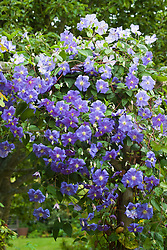 Clematis 'Perle d'Azur' growing over a pergola