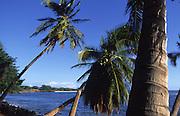 Coconut Palms, Hawaii, USA<br />