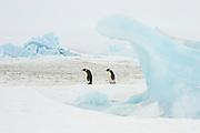 Emperor penguin, Aptenodytes forsteri, adults walking on fast ice, Snow Hill Island, Erebus and Terror Gulf, Antarctic Peninsula, Antarctica, two, pair