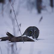 Adult great gray owl laying in snow after diving for a mouse.