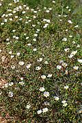 Israel, Sage-Leaved Rock Rose, Cistus salviifolius Photographed in Israel in March