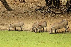Wart Hogs Drinking Water