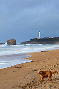 A wet dog shakes to dry himself by Sstormy seas at the Grand Plage, Biarritz, Basque Country, France