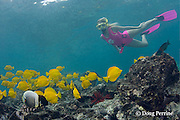 snorkeling visitor observers reticulated butterflyfish and yellow tangs, Zebrasoma flavescens, near Captain Cook monument at Kealekekua Bay, Kona, Hawaii ( Central Pacific Ocean ) MR 354