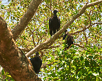 Black Vulture (Coragyps atratus). Crooked Tree Wildlife Sanctuary. Image taken with a Nikon D3x camera and 70-300 mm VR lens
