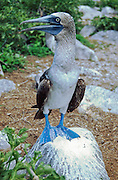 Blue-footed Booby, juvenile female. Galapagos Islands, Ecuador, South America. Published in Sierra Magazine, Sierra Club Outings November/December 2001.