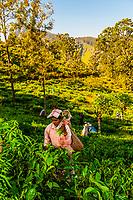Women picking tea, Ambagollapathana, near Ella, Uva Province, Sri Lanka.