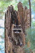 Female raccoon at her den in a tree stump.